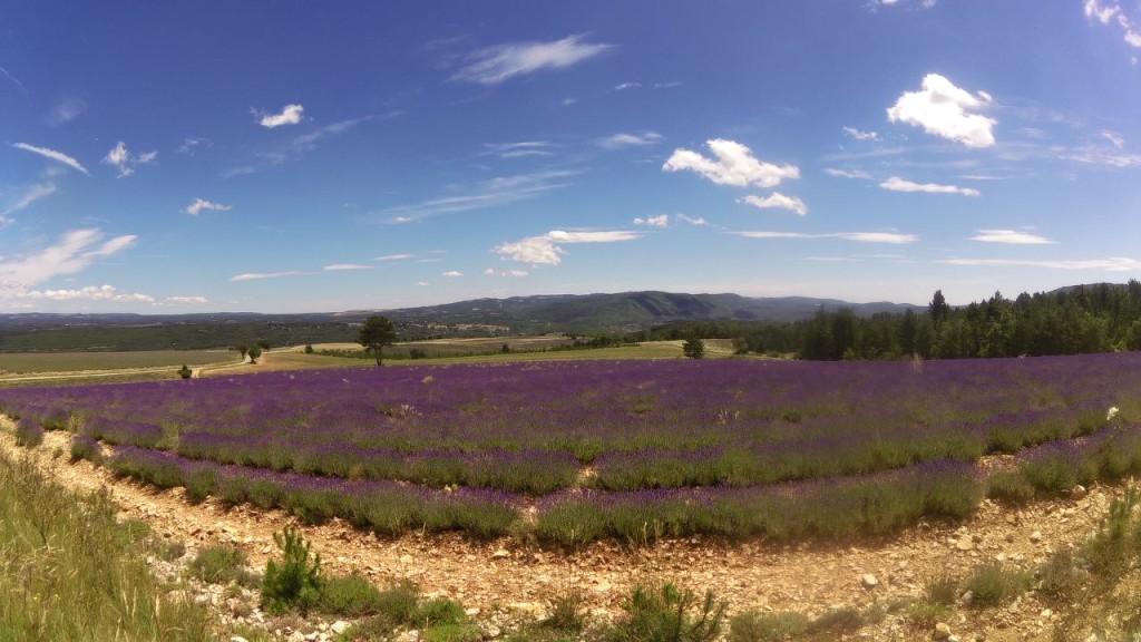 Lavender field near Sault